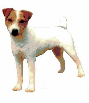 jack russell gyp